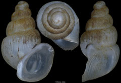 Plagigeyeria reischuetzorum (Bosnia-Herzegovina, 2,3mm) (paratype)