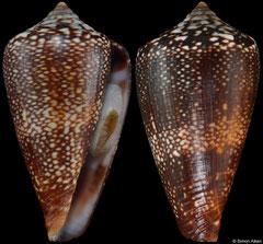Conus vulcanus 'miguelfiadeiroi' (Cape Verde, 25,2mm) F+++ €32.00