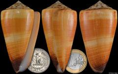 Conus ferrugineus (Philippines, 69,3mm)