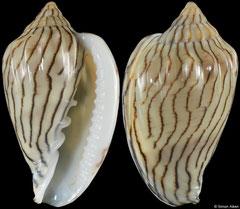 Glabella bellii (Senegal, 24,4mm)