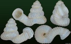 Opisthostoma bihamulatum (Malaysia, 2,7mm) (paratype)