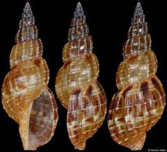 Tritonoturris cumingii (Philippines, 35,2mm)