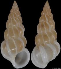 Epitonium callipeplum (Pacific Mexico, 13,9mm)