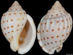 Semicassis adcocki (South Australia, 36,1mm)