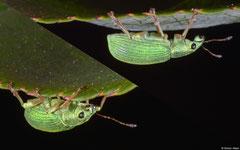 Green leaf weevil (Phyllobius maculicornis), York, UK