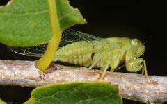 Cicada (Cicadidae sp.), Broome, Western Australia