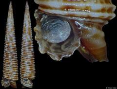 Viriola sp. (V. corrugata 'complex') (Philippines, 14,7mm)