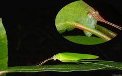 Katydid (Tettigoniidea sp.), Hà Tiên, Vietnam