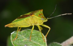 Hawthorn shield bug (Acanthosoma haemorrhoidale), York, UK