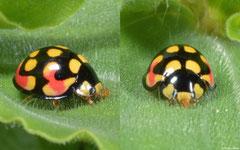 Ladybird (Cheilomenes sulphurea), Fianarantsoa, Madagascar