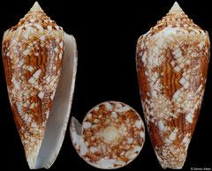 Conus tagaroae (Philippines, 50,9mm)