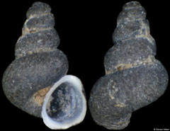 Caucasogeyeria chrysomallos (Georgia, 1,5mm) (paratype)