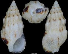 Cerithium atromarginatum (Philippines, 11,8mm)