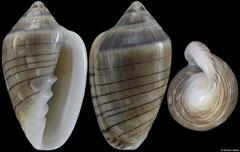 Marginella spiralineata (South Africa, 23,8mm)