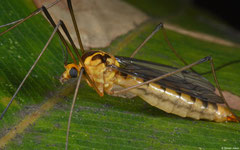 Tiger crane fly (Nephrotoma australasiae), Perth, Western Australia