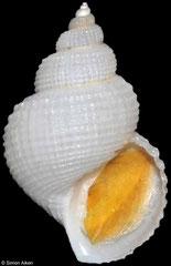 Alora gouldii (Pacific Panama, 16mm)