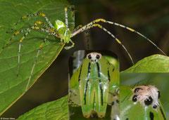 Green lynx spider (Peucetia viridans), Lakxao, Bolikhamsai Province, Laos