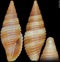 Pseudonebularia atjehensis (Philippines, 10mm)