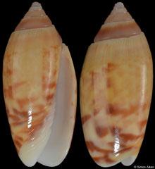 Oliva buloui (New Britain, 21,8mm)