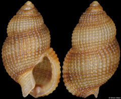 Nassarius agapetus (Philippines, 4,4mm) F+++ €2.50 (specimens for sale are 3-4mm and are of the same quality as the specimen illustrated)