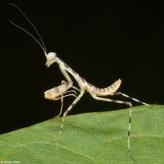 Praying mantis (Hierodula sp.) nymph, Olango Island, Philippines