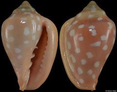 Marginella goodalli (Guinea, 27,1mm)