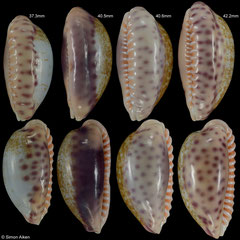 Cypraea chinensis variolaria (Madagascar)