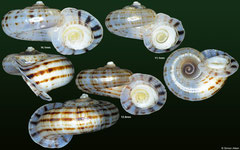 Preclaripoma thompsoni (Dominican Republic, 11,1-14,1mm) F+++ €12.00 for approx 11mm specimens, €16.00 for 12-14mm specimens