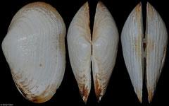 Standella pellucida (Thailand, 55,9mm)