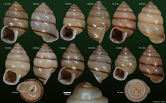 Anceyoconcha rhombostoma (Cambodia) F+++ €8.00 for prominently banded specimens, €5.00 for weakly banded specimens