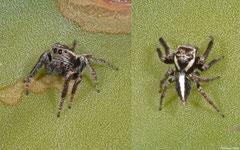 Jumping spider (Salticidae sp.), Ifaty-Mangily, Madagascar