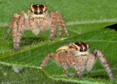 Jumping spider (Macaroeris nidicolens), Bokor Mountain, Cambodia