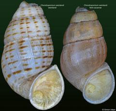 Chondropomium weinlandi (Dominican Republic, 17,6mm) €12.00 for 17-19mm specimens; form azuense (15,7mm) €9.00 for 14mm+ specimens
