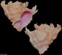 Babelomurex longispinosus (Philippines, 19mm)