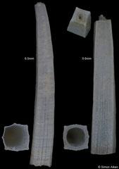 Tesseracme quadrangularis (Pacific Mexico)