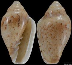 Marginella lutea (South Africa, 22,4mm)