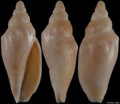 Alcithoe aillaudorum (New Caledonia, 39,8mm)