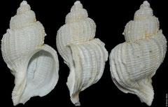 Trophon echinolamellatus (Ross Sea, Antarctica, 53,5mm)