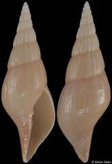 Latiromitra crosnieri (Madagascar, 40,6mm) F/F+ €22.00