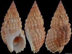 Nassarius papillosus (Hawaii, 44,1mm) F+++ €4.00