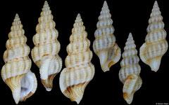 Etrema crassilabrum (Philippines, 13,6mm, 10,8mm)