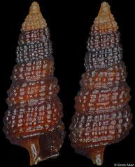 Cerithiopsidella ziliolii (Philippines, 4,1mm) F++ €14.00