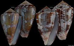 Conus purpurascens (Pacific Panama, 50,0mm, 46,8mm) F++ €7.25