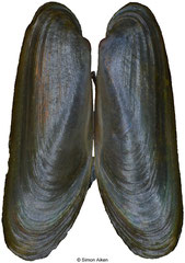 Adipicola crypta (Philippines, 8,4mm)