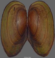 Anemina flavotincta (Russia, 60mm)