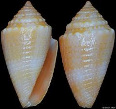 Conus itapua (Brazil, 16,0mm)