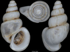Plagigeyeria zetatridyma (Montenegro, 2,7mm)