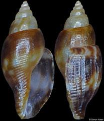 Daphnella janae (Philippines, 6,0mm) F+++ €27.00