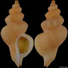 Trophon purdyae (South Africa, 24,5mm)
