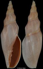 Alcithoe flemingi (New Zealand, 89,6mm)